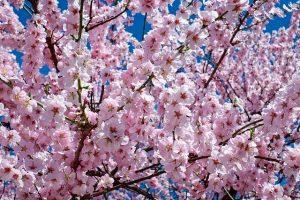 Cherry Blossom Bloom Available Via Livestream Online